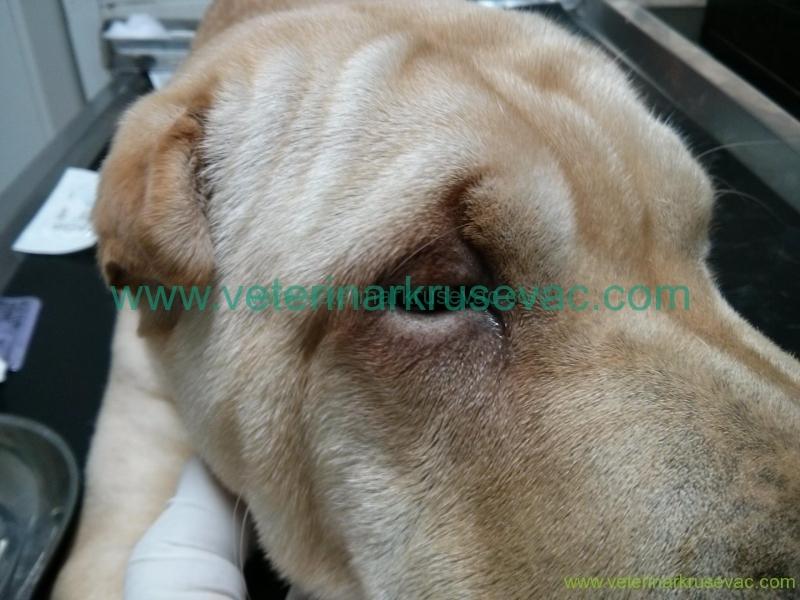 Entropium psa -Šar pei neposredno  posle operacije