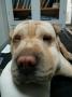 Entropium psa -Šar pei pre operacije