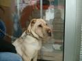 Entropium psa -Šar pei posle operacije