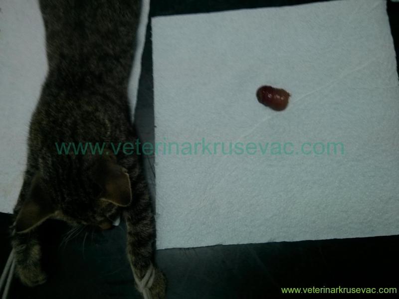 odstranjeni deo  anusa kod mačke