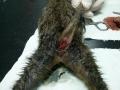 Prolapsus anusa kod mačke