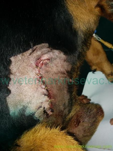 Pneumothorax Balkanski gonič obrađena rana